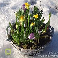 Корзина с весенними первоцветами, крокусы, нарциссы, гиацинты, женский день 8 марта