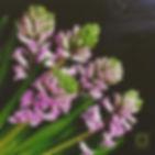 Гиацинты. Ботаника спб.
