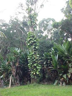 Maui (3)