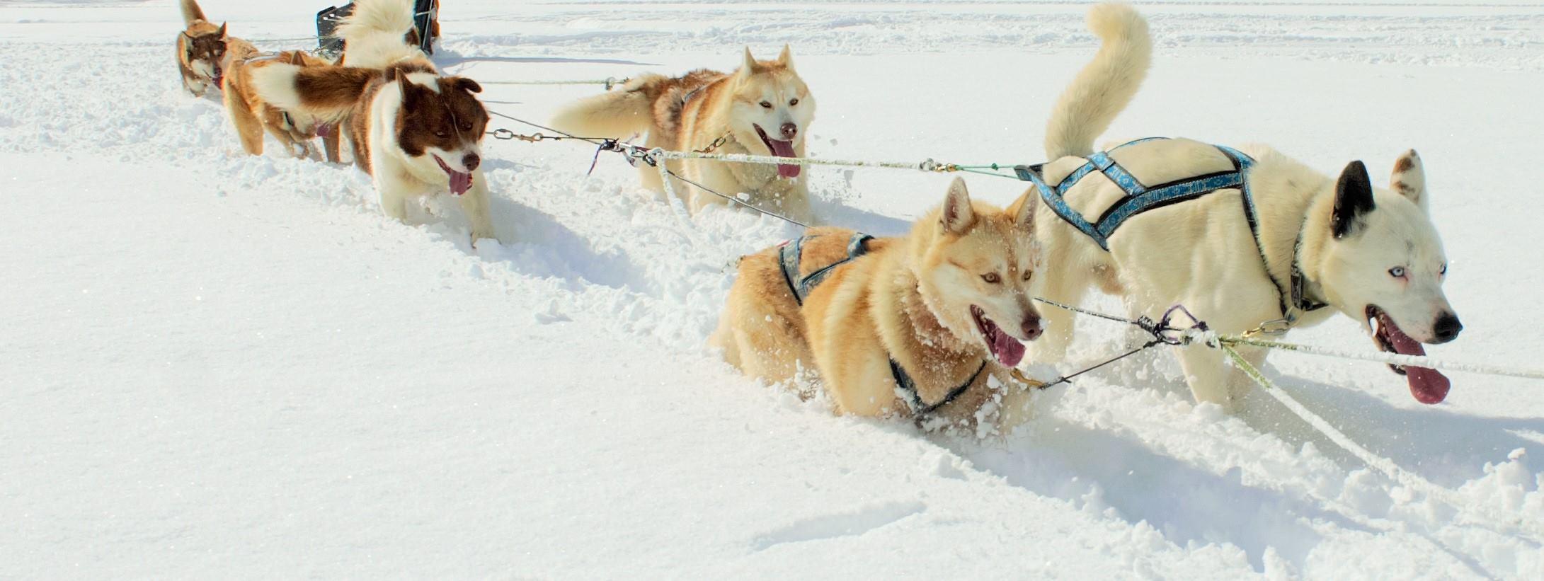 attelage à chiens