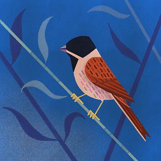 Reed_Bunting-2.png