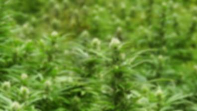 Cannabis Flower, marijuana