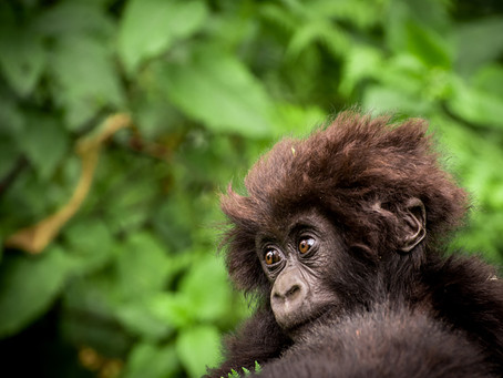 Macibiri The Infant Gorilla
