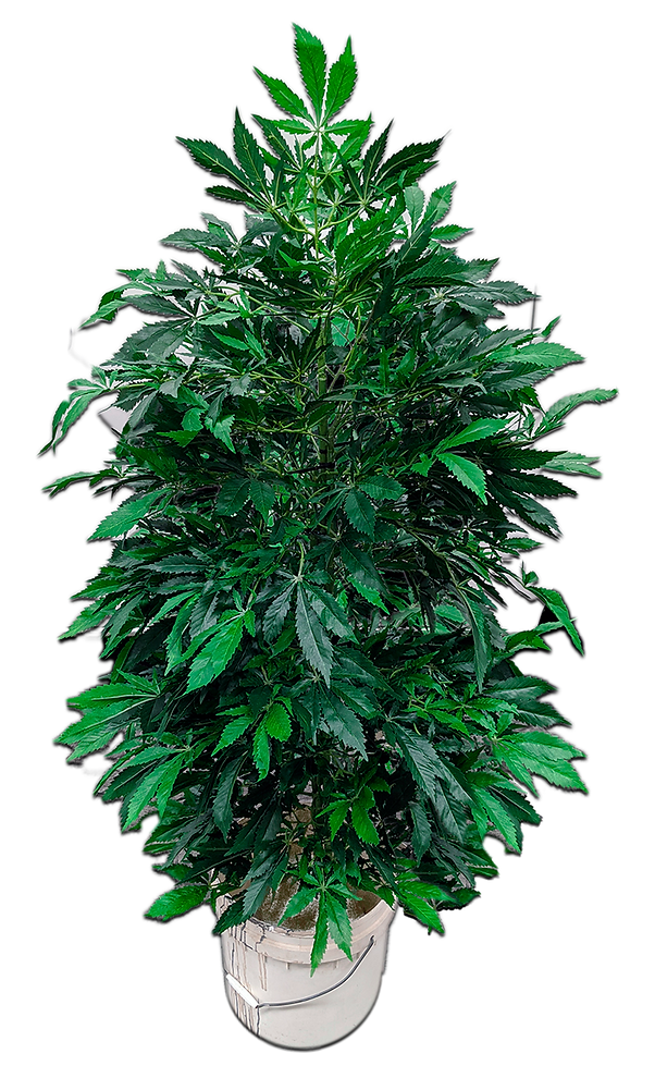 LARGE PLANT PNG small.png