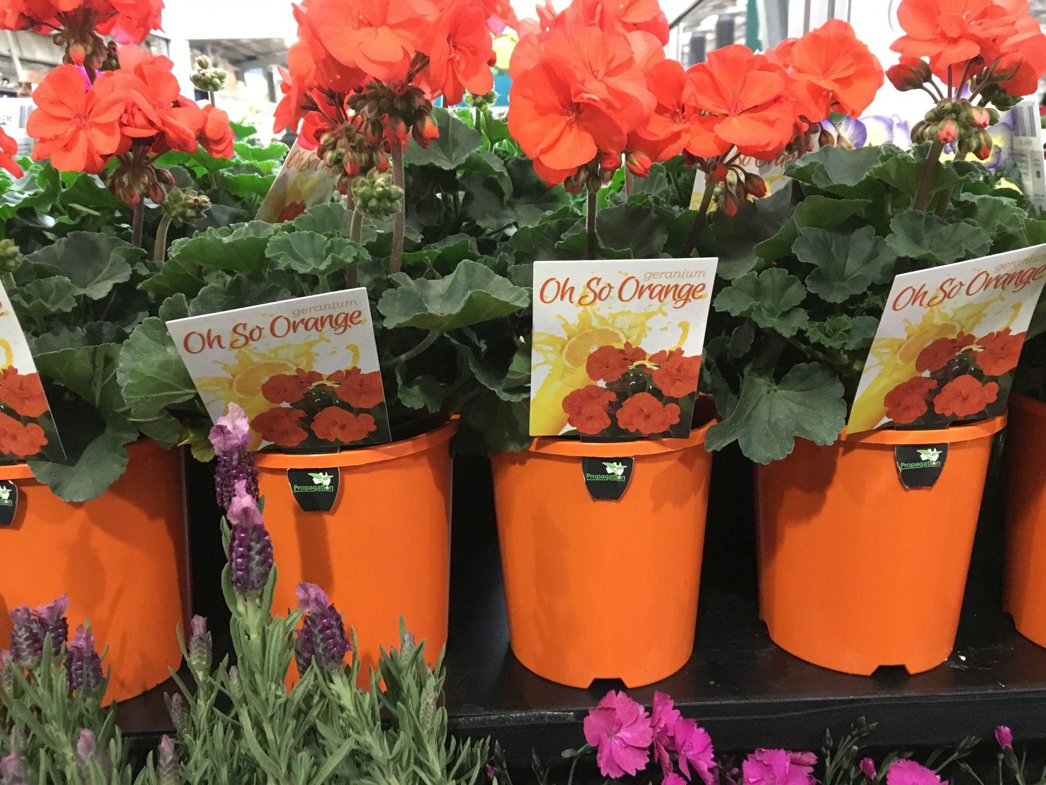 Geranium Oh So Orange.jpg