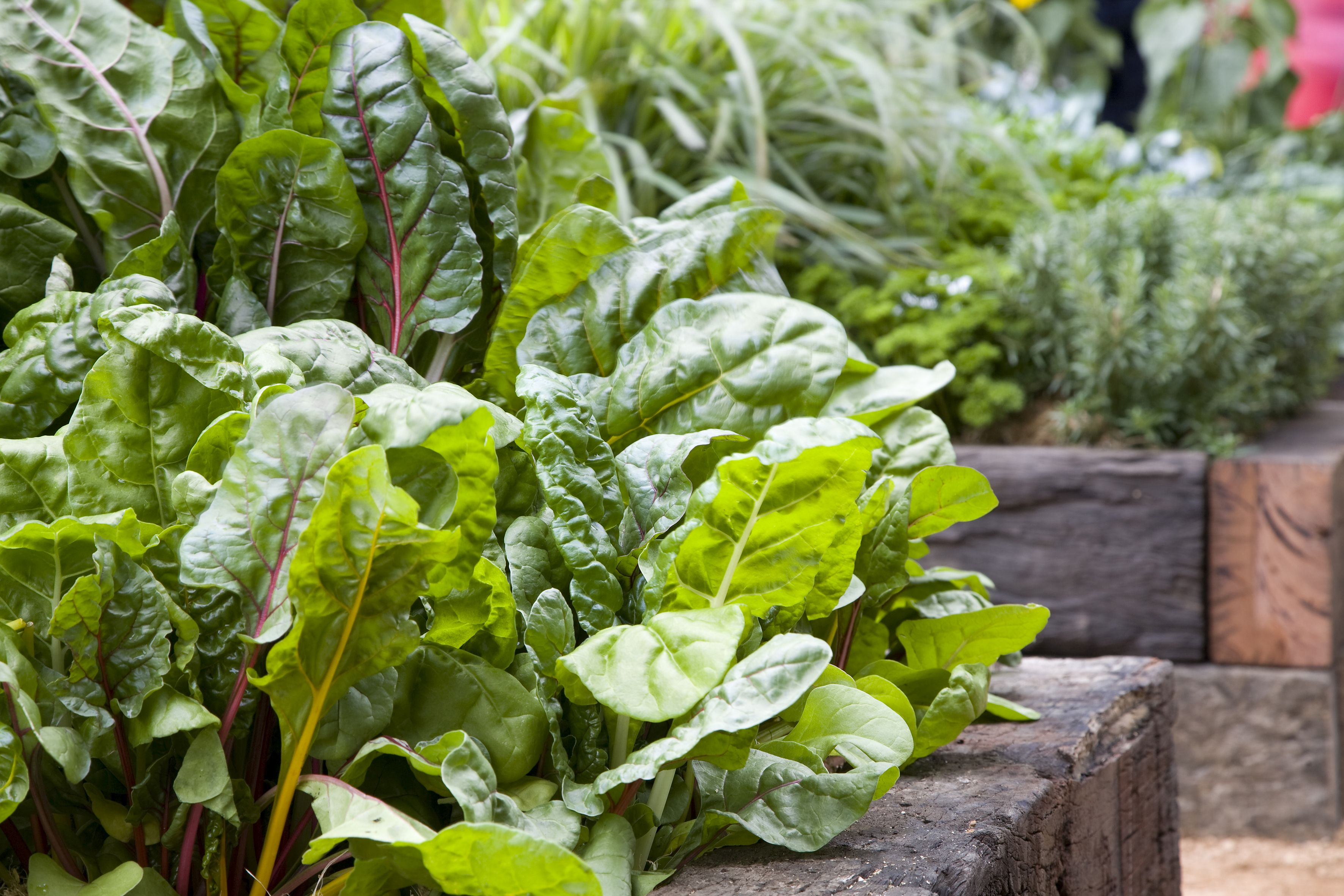 Oasis Silverbeet Colours MIFGS 08 credit Oasis Horticulture smaller.jpg