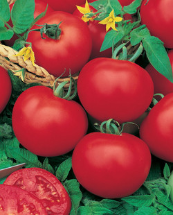 Oasis Grafted Tomato Grosse Lisse jpeg.jpg