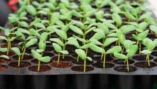 seedling_tray_damping_off.jpg.560x0_q80_crop-smart.jpg