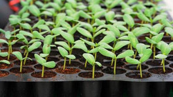 seedling_tray_damping_off.jpg.560x0_q80_crop-smart.jpg
