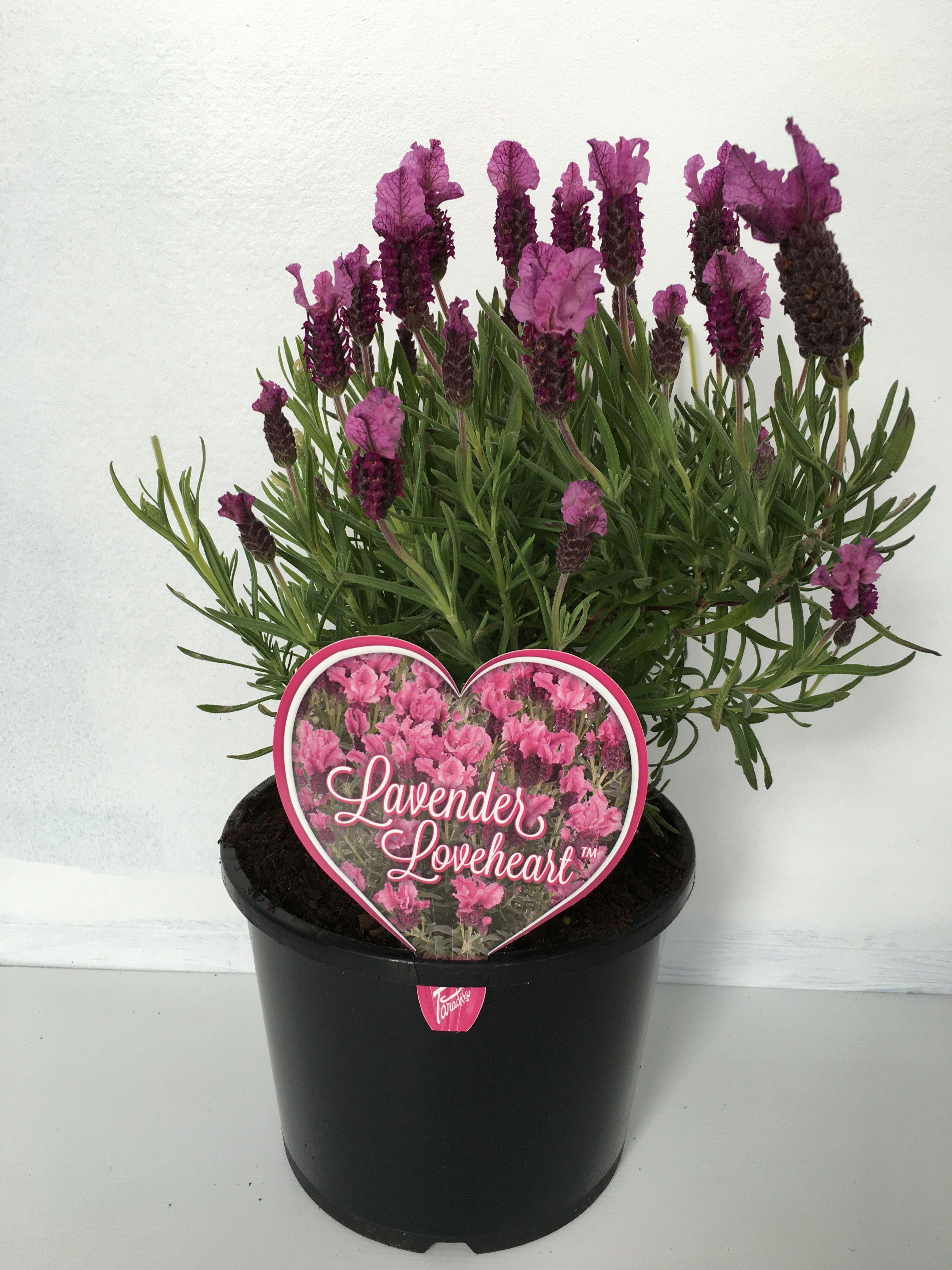 Lavender Loveheart Image.jpg