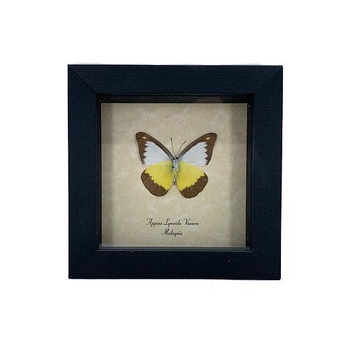 Appias Lyncida Vasava - Framed Butterfly Specimen