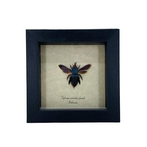 Xylocopa Caeruleae - Framed Specimen
