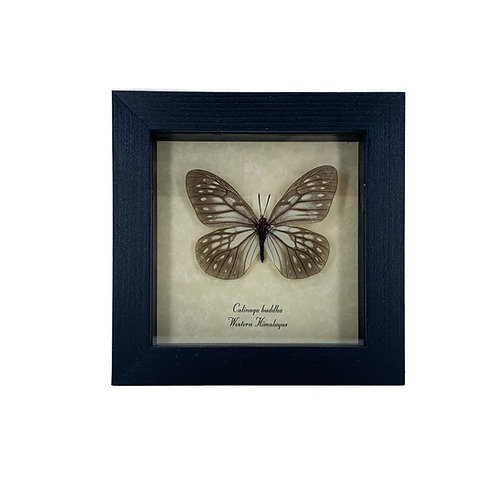 Calinaga Buddha - Framed Butterfly Specimen