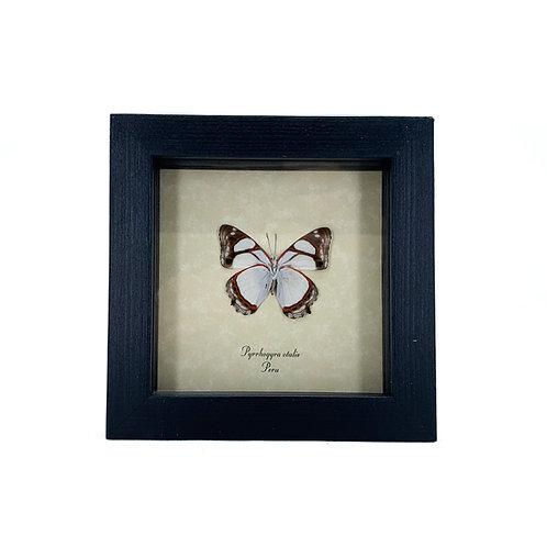 Pyrrhoqyra Otalis - Framed Butterfly Specimen