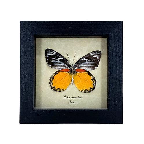Framed Delias descombesi Butterfly