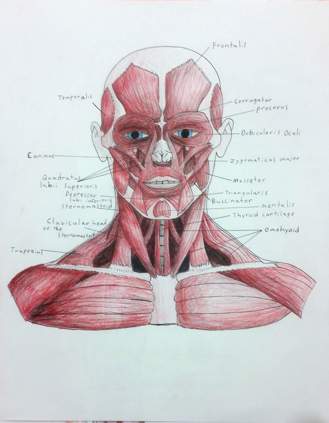 Labeled Face and Neck Muscles