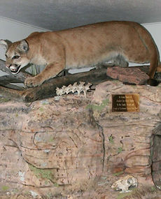 Mountain Lion Taxidermy