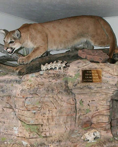 Mountain Lion Taxidermy