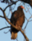 Turkey Vulture 2.jpg