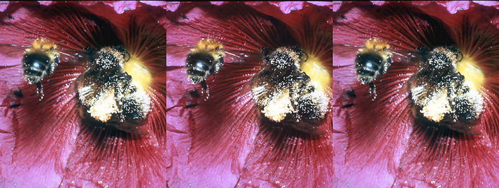 Pat Whitehouse Bee with pollen.jpg