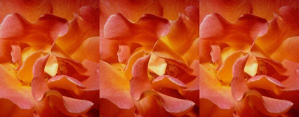 Rose Up Close by Dr. Harold Lutes, APSA.