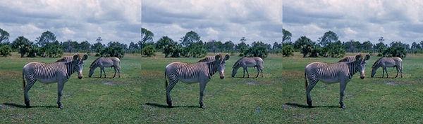 1954 Zebra Boca Raton, FL Africa USA by