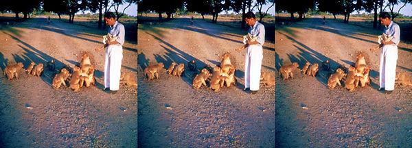 IN-14_India_Feeding_time_for_monkeys_nea
