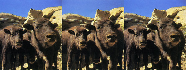 1989 Buffalo faces by Noel Archambeault.