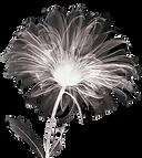 negative%20flower-2%20Aster_edited.png