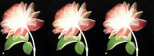 39 pink rose XGA2-Colorized.jpg