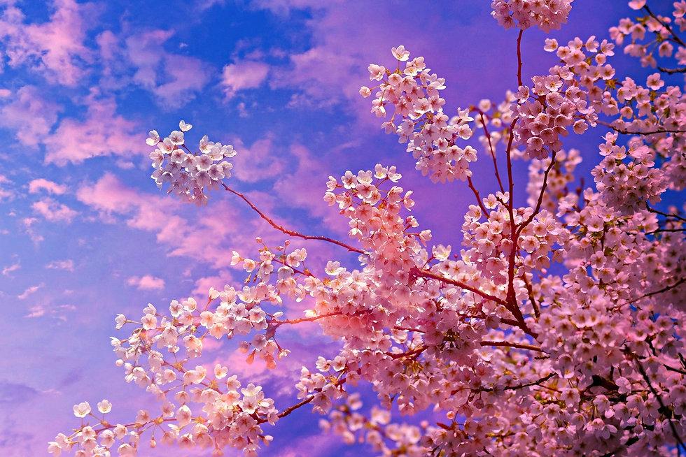 桜青.jpg