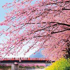 川津桜.jpg