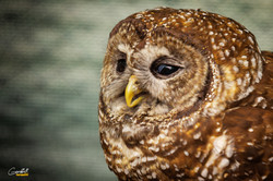 Freckles - Spotted Owl