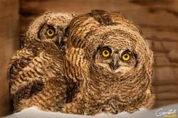 Bert-N-Ernie -Baby Great Horned Owls