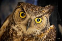 Hornsby - Great Horned Owl