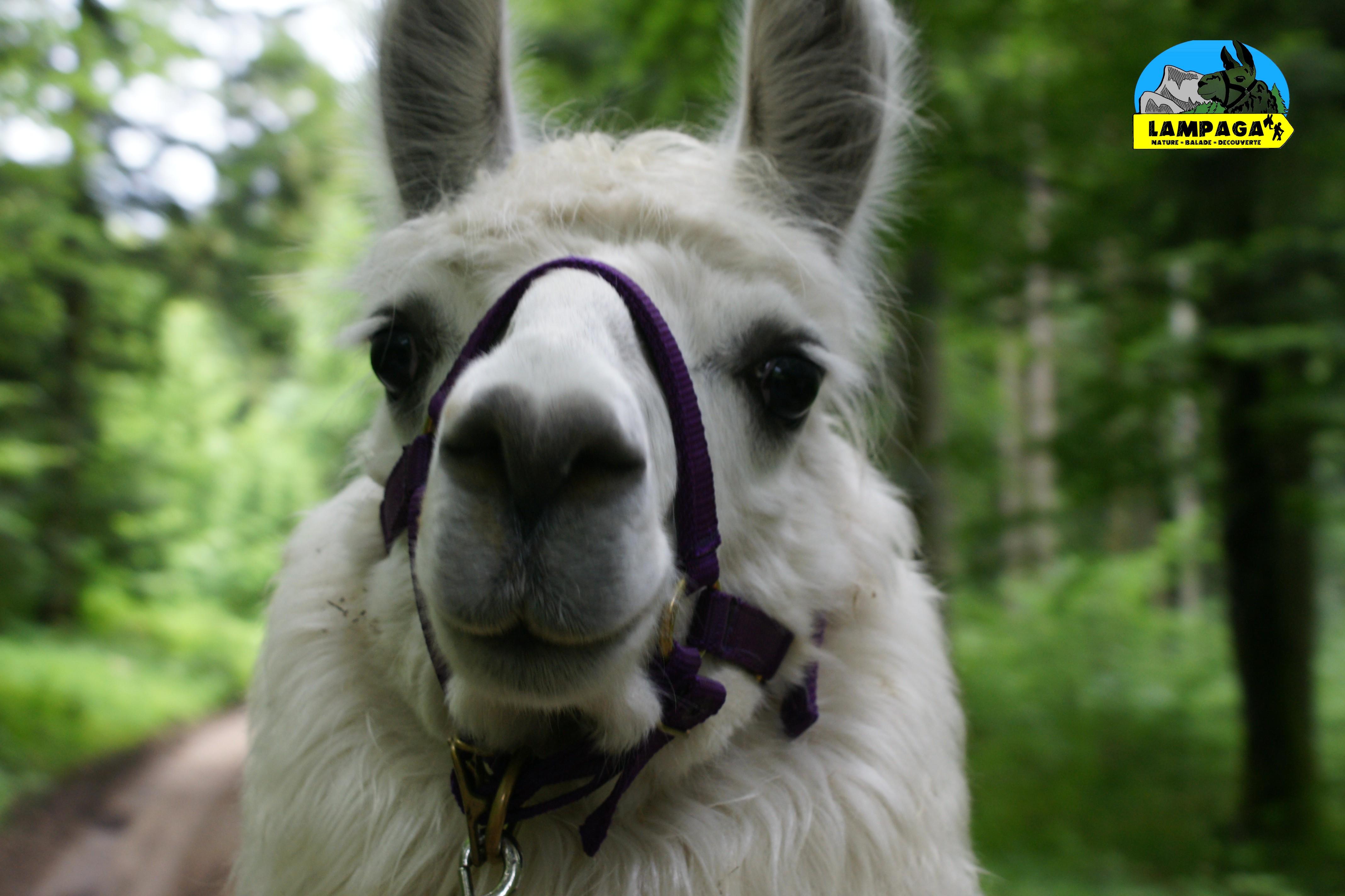 Notre jeune lama