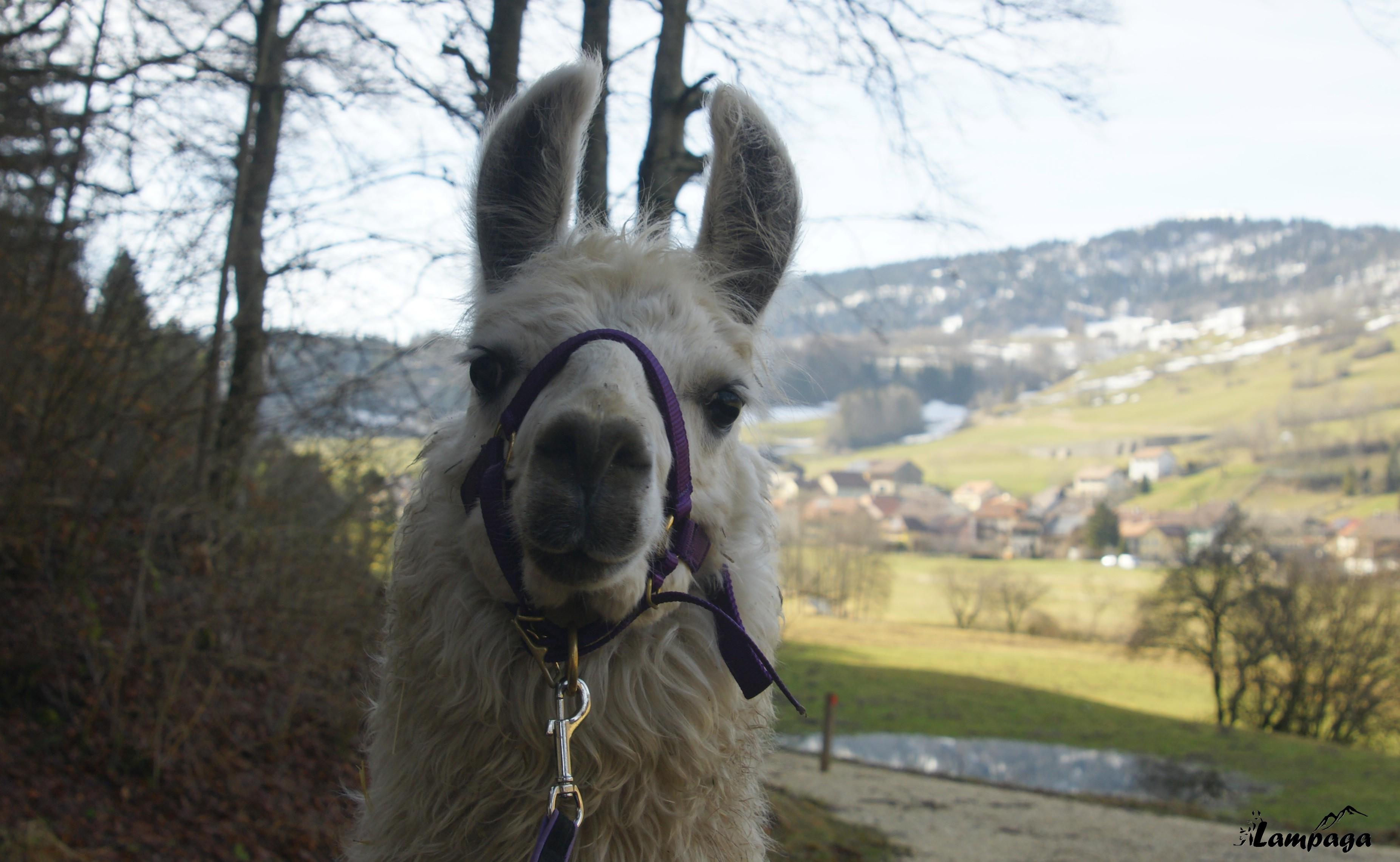 Notre ptit nouveau..très jeune lama