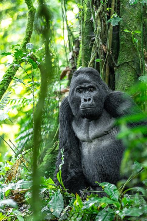 Gorilla -106420.jpg