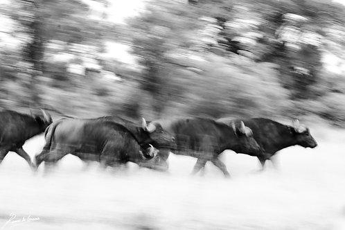 Buffalo Chaos