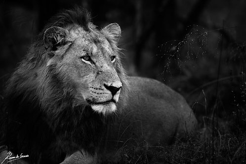 Lion in the Dew