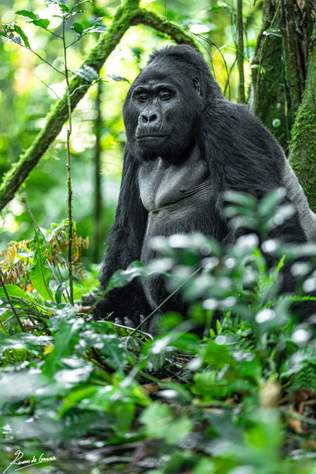 Gorilla -106270.jpg
