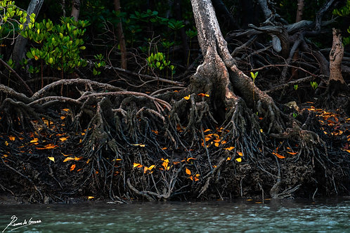 Amongst the Mangroves