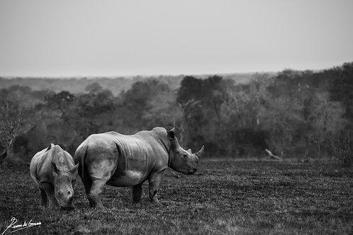 Ashy Rhino