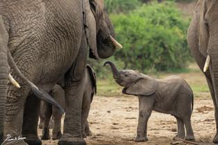 Elephant calf-103027.jpg