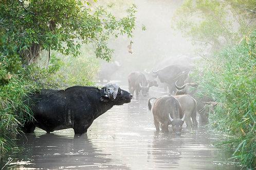 Misty Buffalo