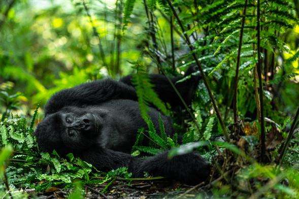 Gorilla -105686.jpg