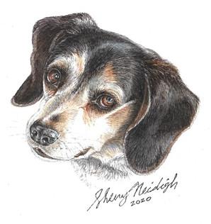 Andi, a Blue Ticked Beagle