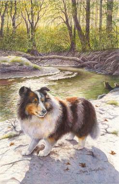 Blue Merle Sheltand Sheepdog