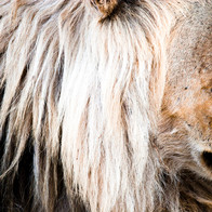 AFRICAN LION 7590