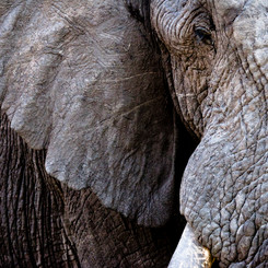 AFRICAN ELEPHANT 8156